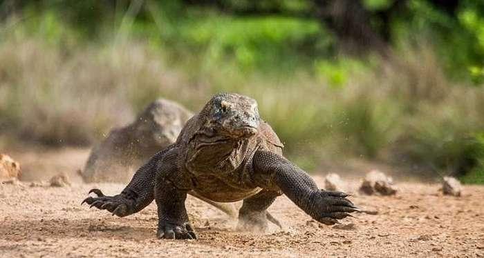 Современные драконы — комодские вараны