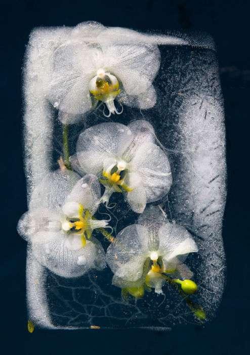Когда замирает время: фотографии цветов, замороженных в ледяных глыбах
