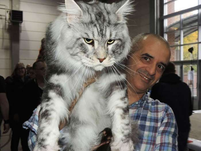 16 фотографий огромных и очень дружелюбных кошек, ставших гордостью хозяев