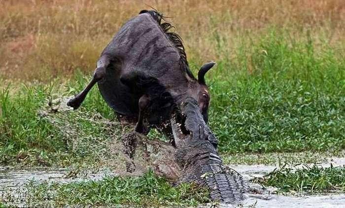 В мире животных: драка крокодила с бегемотом