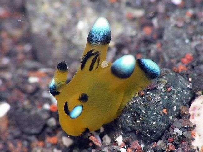 Thecacera Pacifica - реальный подводный Пикачу (16 фото)