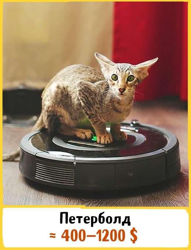 19 шикарных кошек, которые стоят целое состояние (19 фото)