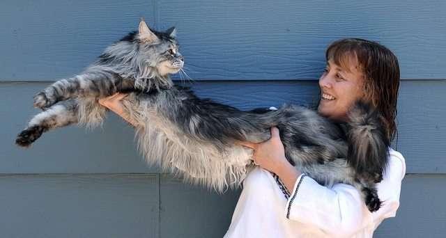 17 огромных котов, на фоне которых их хозяева кажутся карликами