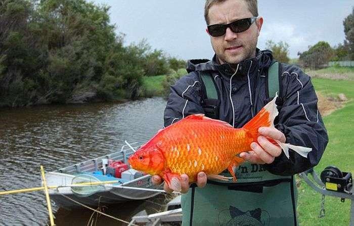 Выпущенные на волю золотые рыбки превращаются в злостных вредителей (3 фото)