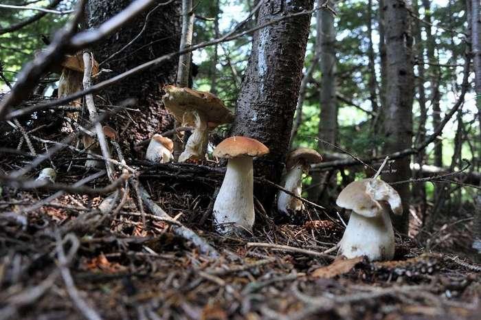 Редкий и дорогой вид грибов – мацутаке растет в некоторых районах Сахалина