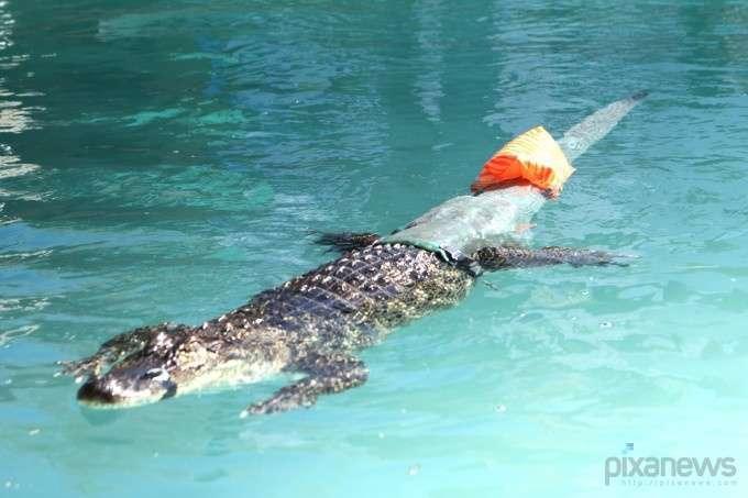 Аллигатор лишился хвоста, но ему сделали протез (6 фото)