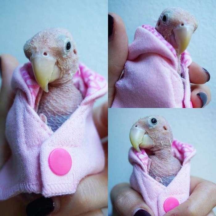 Попугай без перьев стал звездой интернета