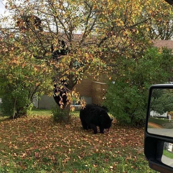 Яблоки поспели — медведи прилетели