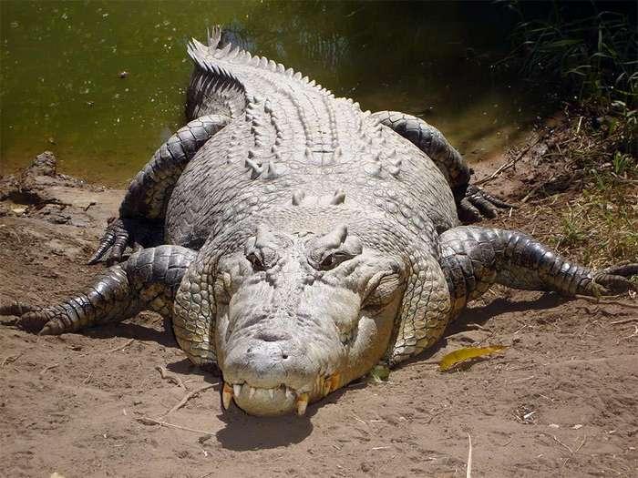 Гребнистый или морской крокодил (Crocodylus porosus) по имени Кассиус считается самым крупным из ныне живущих представителем отряда
