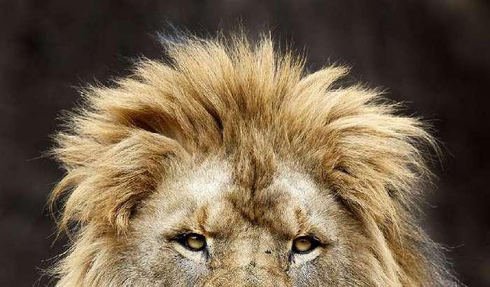 Убили двух львов для спасения самоубийцы