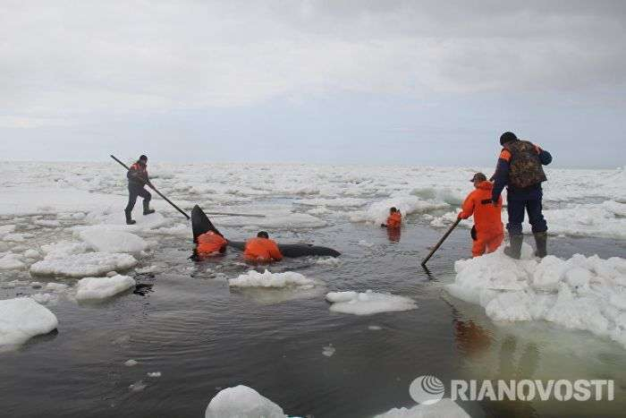 На Сахалине в Охотском море спасли зажатую во льдах косатку (5 фото)