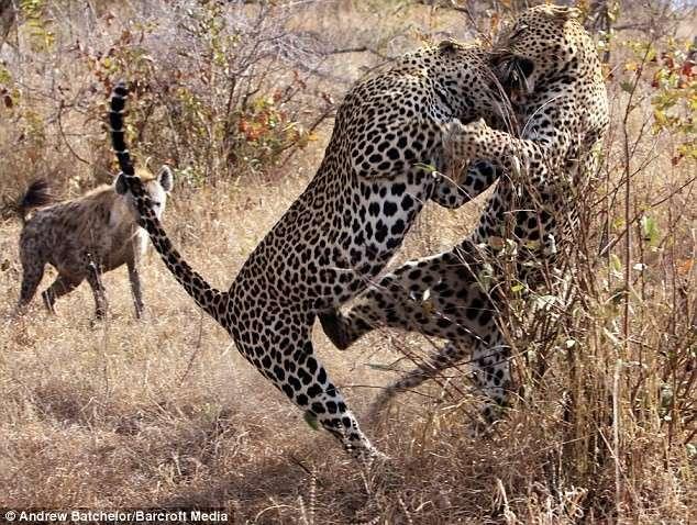 Схватка двух хищников (4 фото)