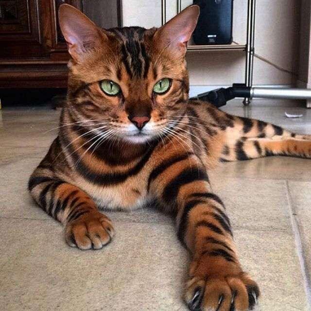 Мистер Само Совершенство: бенгальский кот покоряет соцсети