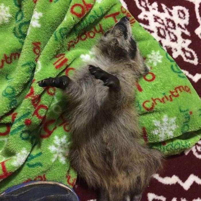 Поросята и спасенный кот выхаживают покалеченного и осиротевшего малыша-енота