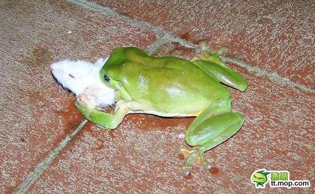 Древесные лягушки едят все (9 фото)