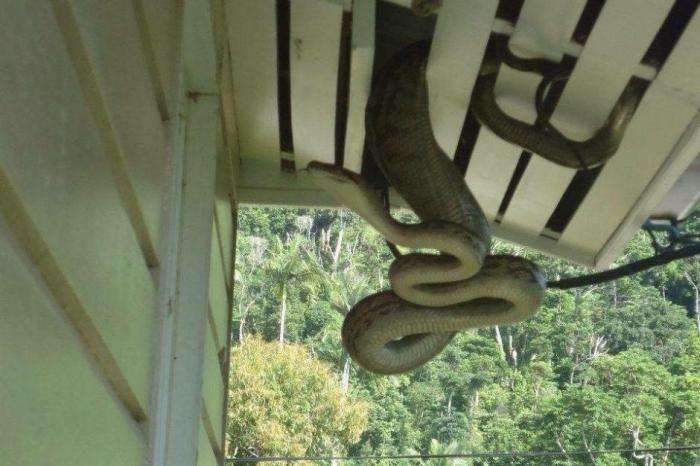 Австралийка обнаружила в своем доме 40-килограммового питона (4 фото)