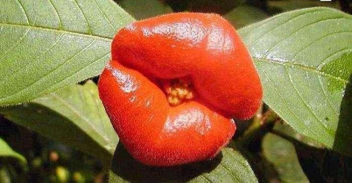 Удивительный цветок напоминающий по форме женские пухлые губы (16 фото)