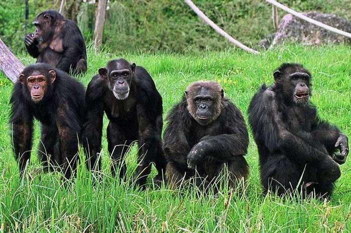Война шимпанзе