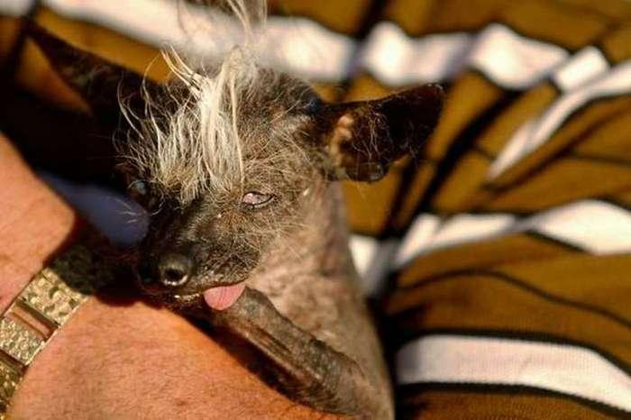 Самый уродливый пёс в мире