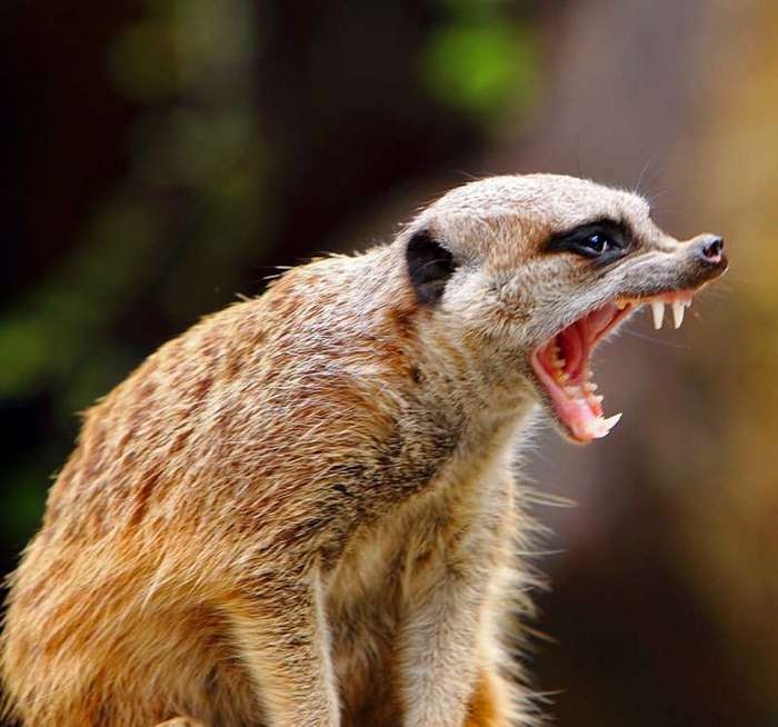 Сурикаты оказались самыми кровожадными животными