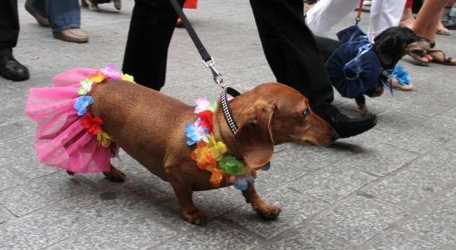 В Польше прошел традиционный парад такс (18 фото)