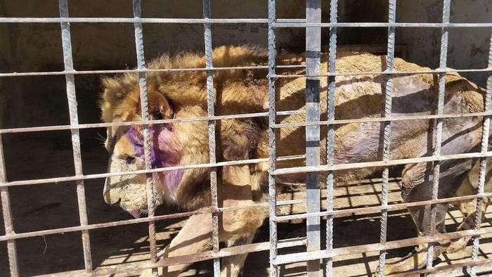 Зоопарк ужаса в Йемене возвращают к жизни