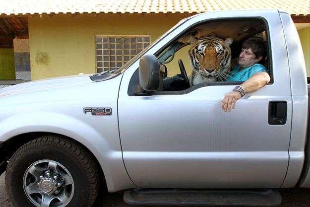 Бразильская семья живет в доме с семью тиграми (14 фото)
