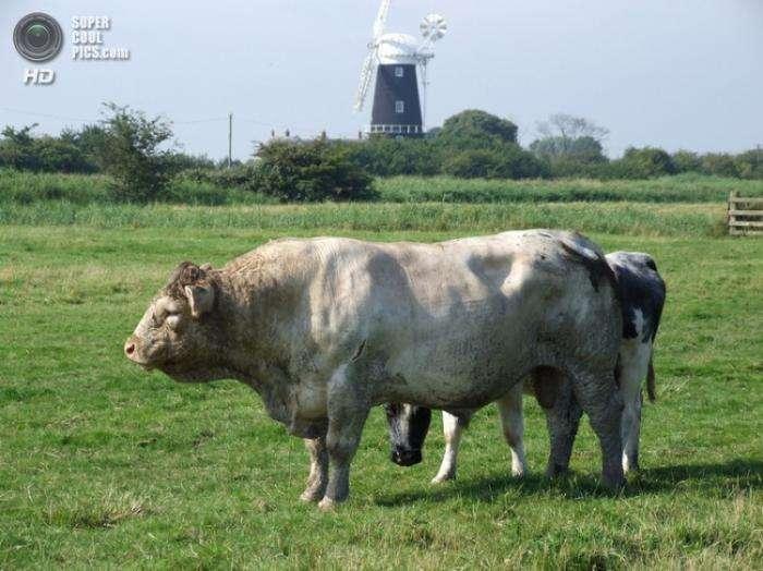 Бельгийские коровы-мутанты (9 фото)