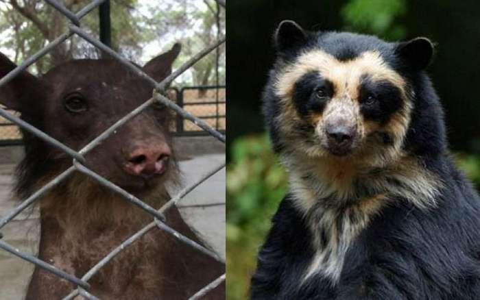 Медведицу спасли после 20 лет издевательств