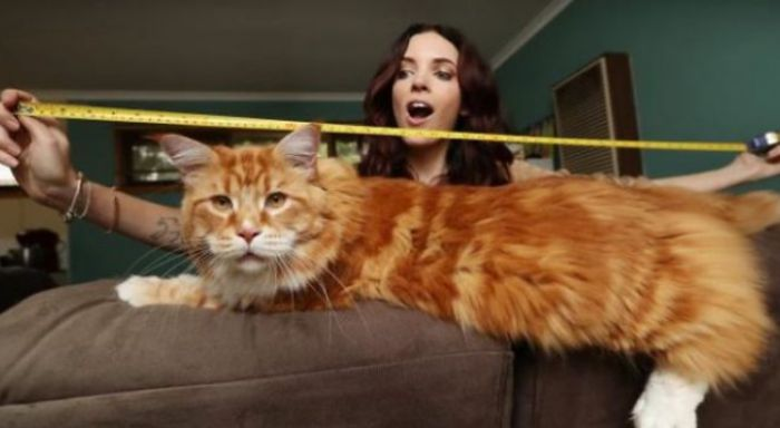 Самый длинный кот планеты – Мейн Кун