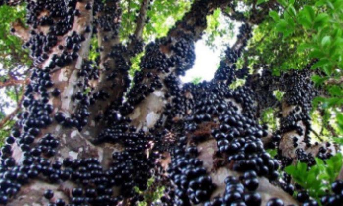 Уникальный виноград – джаботикаба