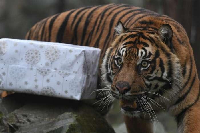 Merry Christmas, мистер Тигр! Как жители зоопарков открывали подарки