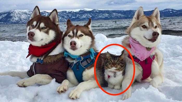 Кошка, которую спасли и вырастили хаски, теперь считает себя большой и отважной собакой