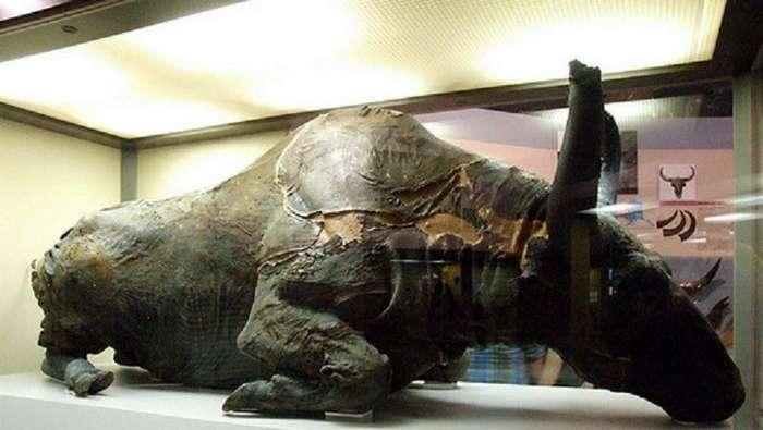 Древние ископаемые бизоны – Россия и Америка