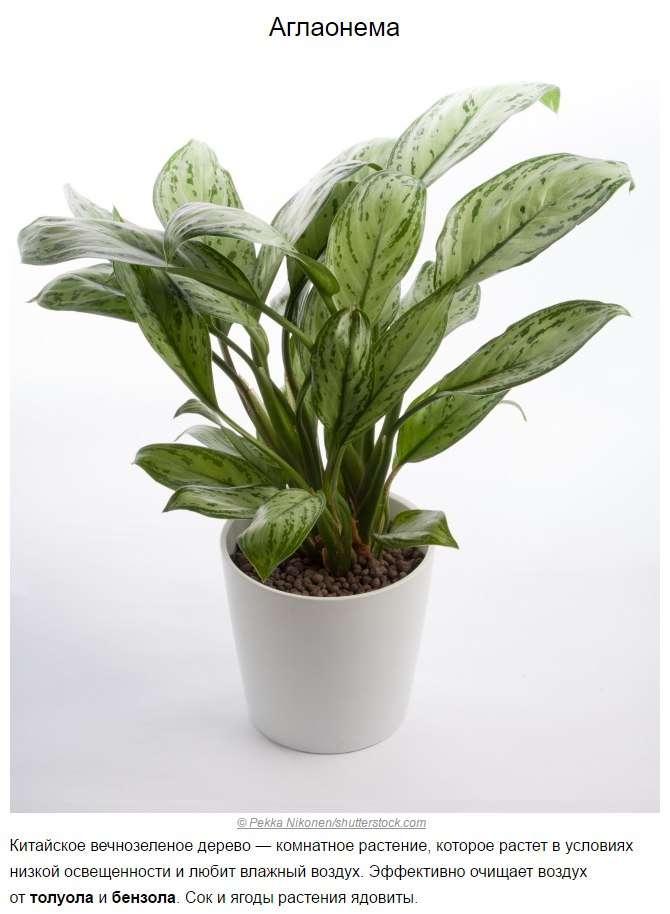 Топ-10 растений для очистки воздуха по мнению NASA.