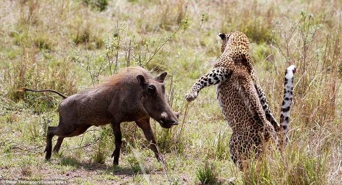 Виртуозы охоты: летающий леопард