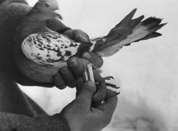 Военно-голубиная связь в СССР