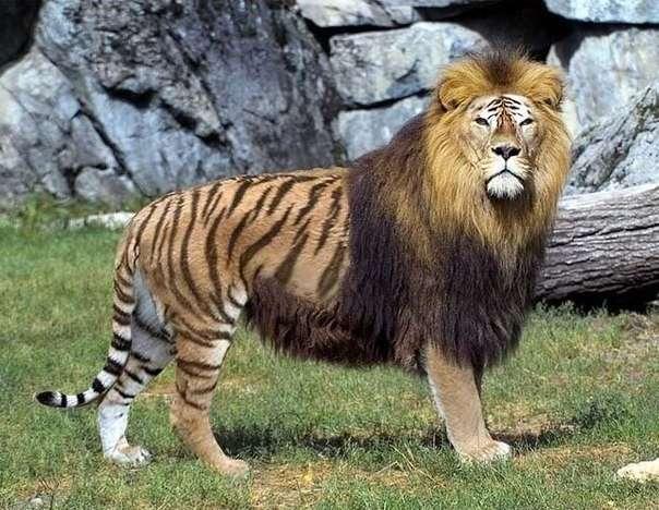 Самые известные гибриды животных в мире