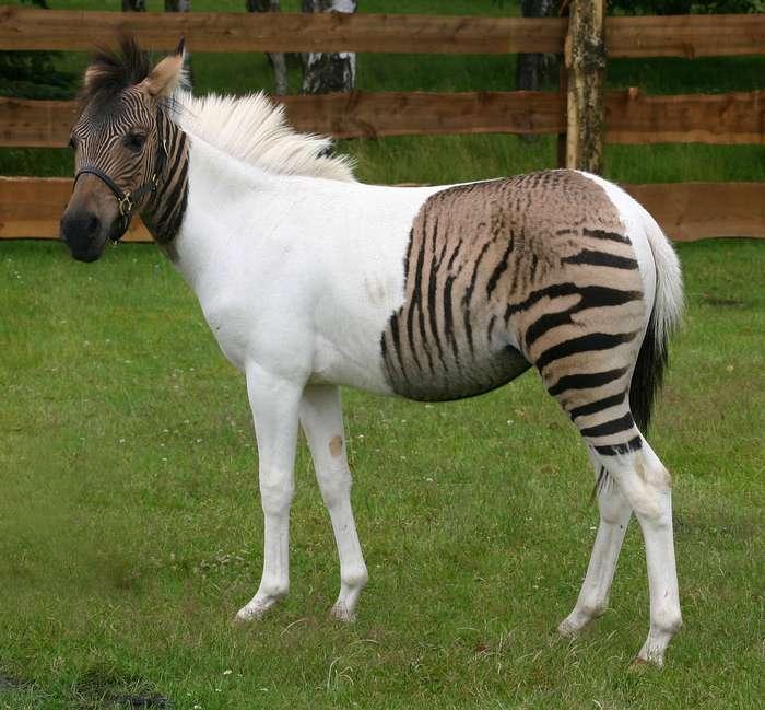 Как это возможно? Самые удивительные гибридные животные мира