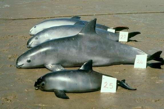 На Земле осталось не больше 30 морских свиней