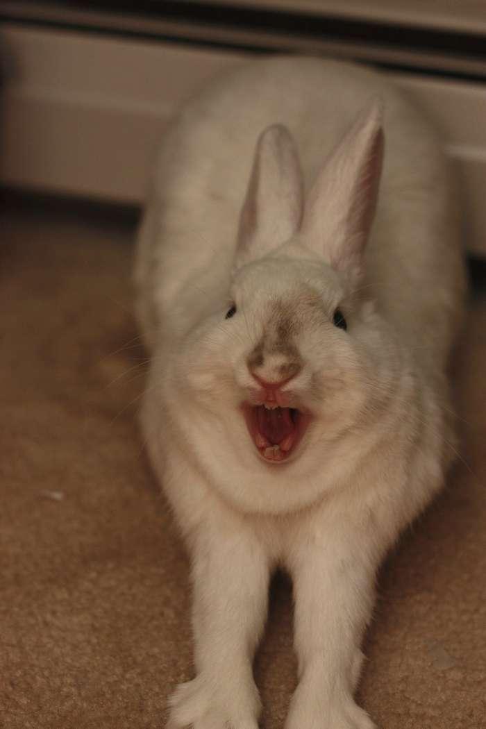 Кролики выглядят непредсказуемо ужасно, когда зевают