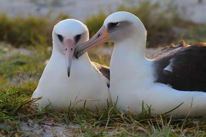 Старейшая самка темноспинного альбатроса вновь отложила яйцо