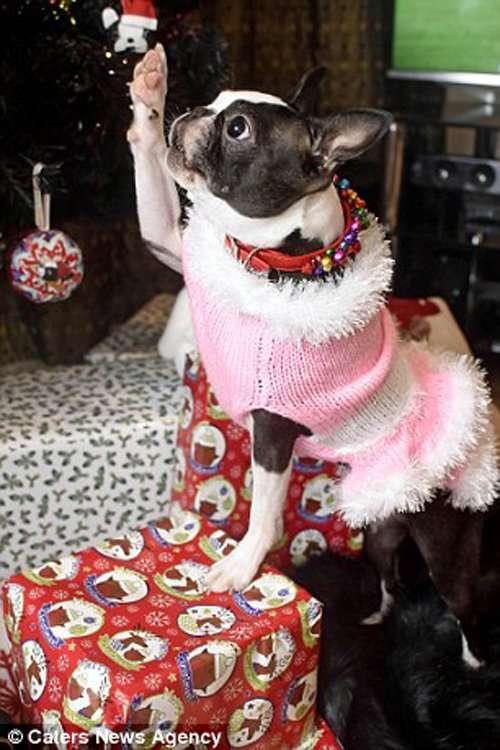 Хозяйка потратила 3500 фунтов на то, чтобы устроить Рождество своим собакам