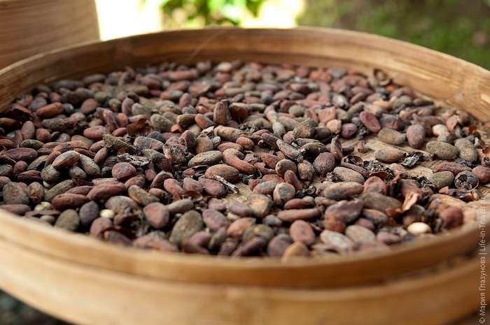 Как выращивают и обрабатывают какао в Индонезии