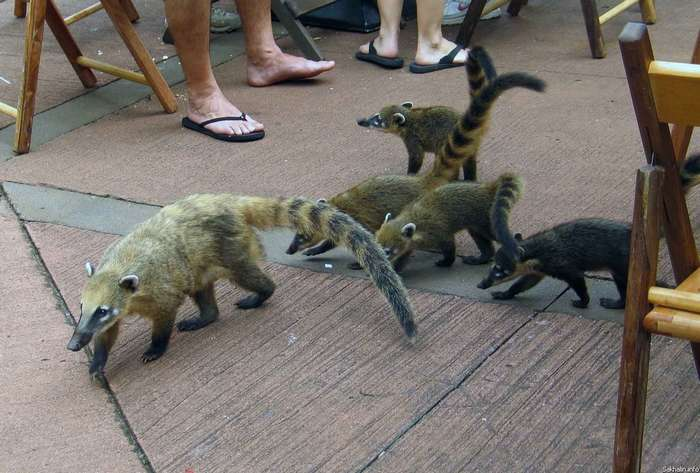 Кучучу, коати или просто носуха