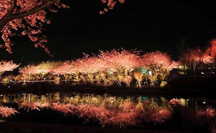 В этом японском городе уже расцвела сакура!