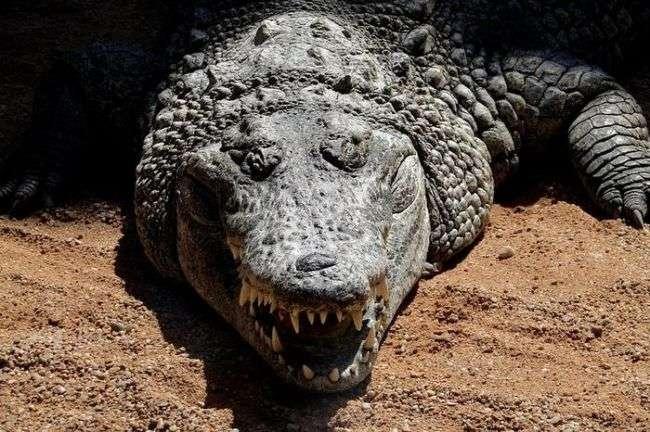 Три брата попытались изнасиловать крокодила и были съедены