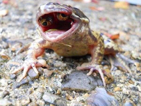 Лягушка-мутант с глазами во рту