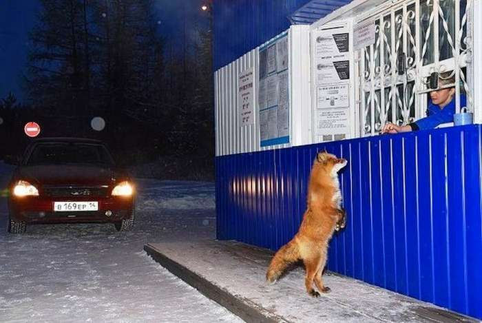 Хитрый лис-попрошайка