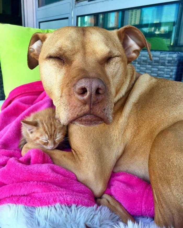 Питбуль, которому подарили котёнка из приюта